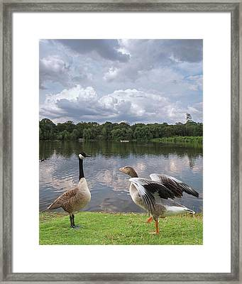 Strutting Their Stuff - Geese At The Lake Framed Print