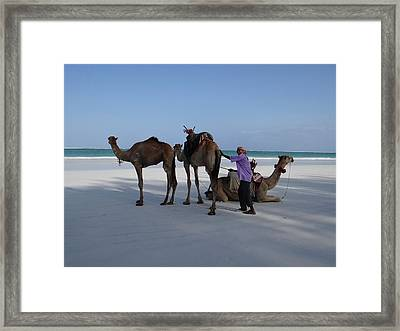 Stubborn Wedding Camels Framed Print