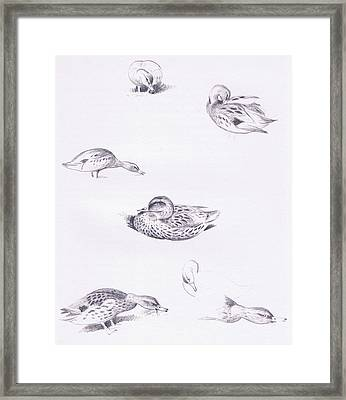 Studies Of Mallard Ducks Framed Print