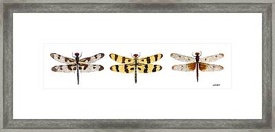 Framed Print featuring the painting Study Of A Banded Pennant A Halloween Pennant And A Calico Pennant  by Thom Glace