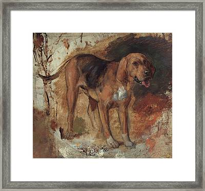 Study Of A Bloodhound Framed Print