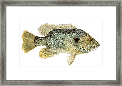Study Of A Green Sunfish Framed Print by Thom Glace