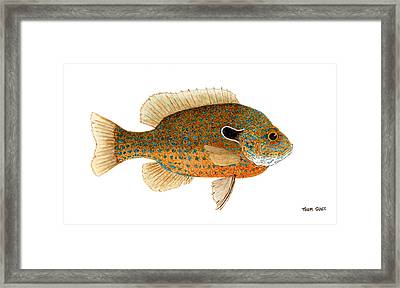 Framed Print featuring the painting Study Of A Longear Sunfish by Thom Glace