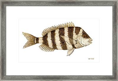 Framed Print featuring the painting 'study Of A Sheepshead' by Thom Glace