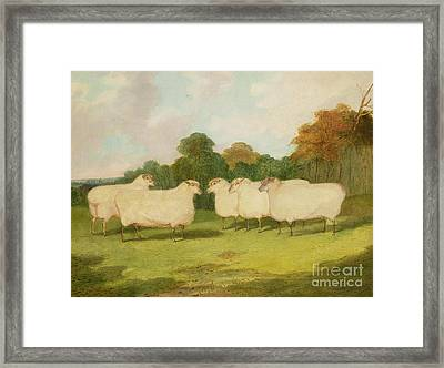 Study Of Sheep In A Landscape   Framed Print by Richard Whitford