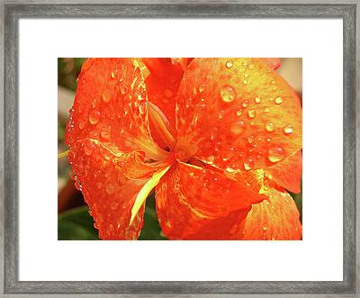 Stunning Canna Lily Framed Print