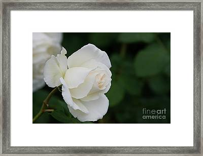 Stunning White Tineke Rose Framed Print
