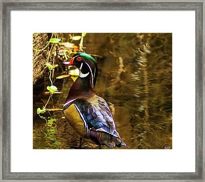 Stunning Wood Duck Framed Print