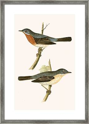 Sub Alpine Warbler Framed Print by English School