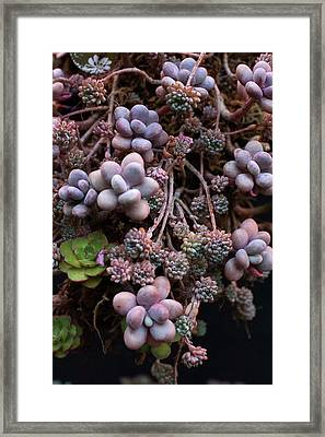 Framed Print featuring the photograph Succculents  by Catherine Lau