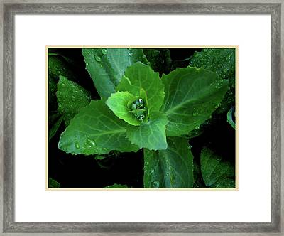 Succulent After The Rain  Framed Print