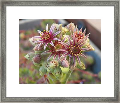 Succulent Cactus Framed Print by Laurie Kidd