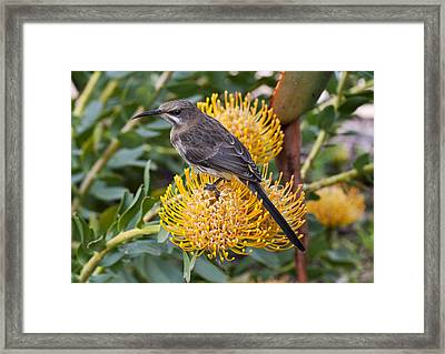 Sugar Bird On A Pin Cushion Protea Framed Print by Kevin Grotz