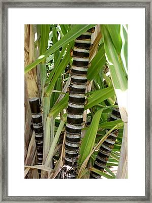Sugar Cane Framed Print by Annie Babineau