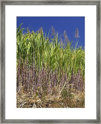 Sugar Cane Framed Print by Bjorn Svensson