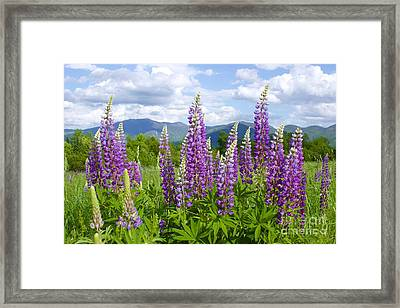 Sugar Hill Lupines Framed Print by Alice Mainville