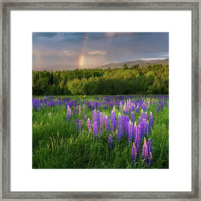 Sugar Hill Lupines Square Framed Print