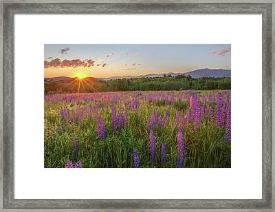 Sugar Hill New Hampshire Lupine Framed Print