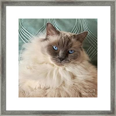 Sugar My Ragdoll Cat Framed Print