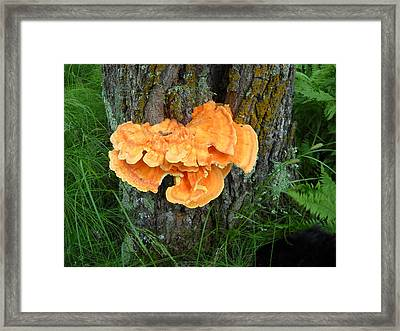 Sulfur Shelf Fungus On A Tree Framed Print