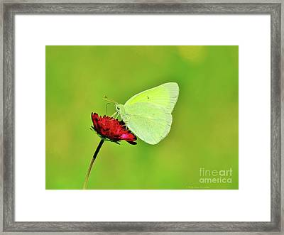 Sulphur Butterfly On Knautia Framed Print