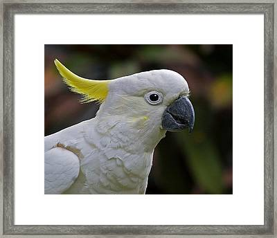 Sulphur-crested Cockatoo Framed Print by Larry Linton