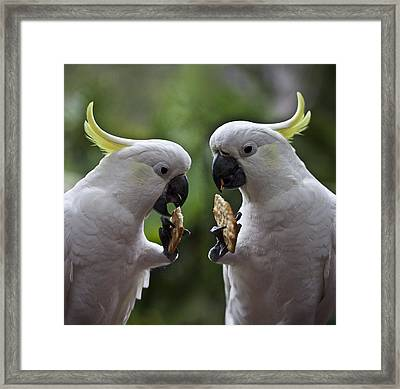 Sulphur Crested Cockatoo Pair Framed Print by Avalon Fine Art Photography