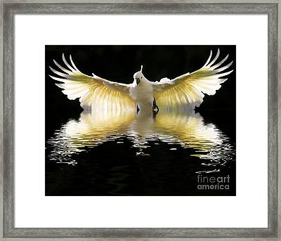 Sulphur Crested Cockatoo Rising Framed Print