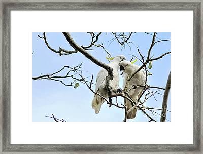 Sulphur Crested Cockatoos Framed Print by Kaye Menner