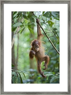 Sumatran Orangutan Pongo Abelii One Framed Print by Suzi Eszterhas