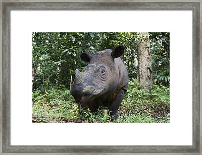 Sumatran Rhinoceros Sumatran Rhino Framed Print by Suzi Eszterhas
