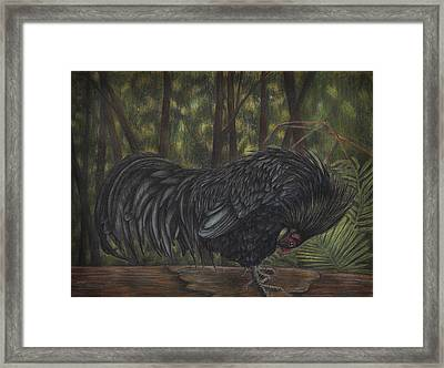 Sumatran Rooster Framed Print by Amber Chiozza