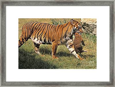 Sumatran Tiger Framed Print by Gerard Lacz