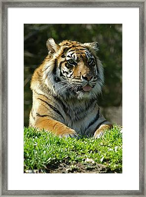 Sumatran Tiger Framed Print by JT Lewis