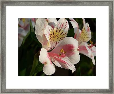 Framed Print featuring the photograph Summer Bloom II by Jake Hartz