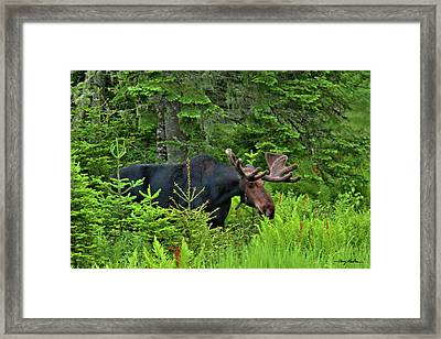 Summer Bull Framed Print