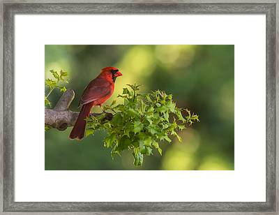 Summer Cardinal New Jersey Framed Print by Terry DeLuco