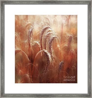 Summer Corn Framed Print by Agnieszka Mlicka