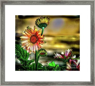 Summer Daisy Framed Print