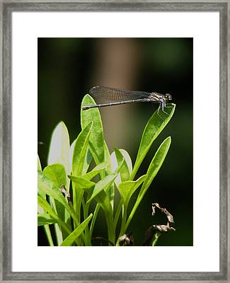 Framed Print featuring the photograph Summer Damselfly by Margie Avellino