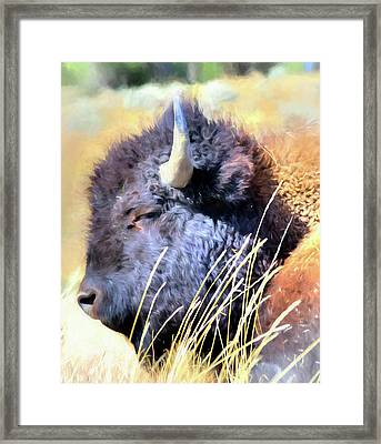 Summer Dozing - Buffalo Framed Print