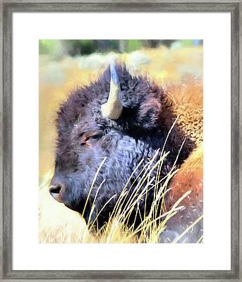 Summer Dozing - Buffalo Framed Print by Greg Sigrist