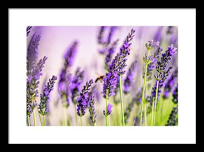 Honeybee Framed Prints