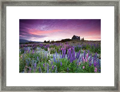 Summer Lupins At Sunrise At Lake Tekapo, Nz Framed Print by Atan Chua