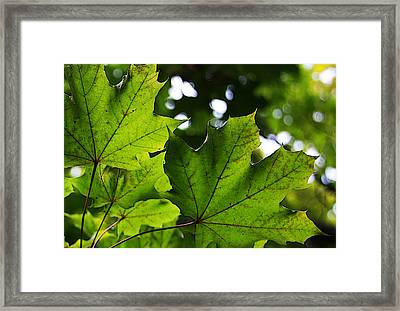 Summer Maple Leaves Framed Print