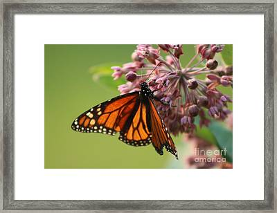 Summer Monarch Butterfly  Framed Print by Neal Eslinger