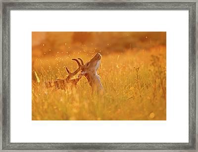 Summer Mood - Fallow Deer On A Summer Evening Framed Print