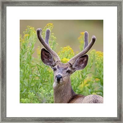 Summer Mule Deer Framed Print by Jack Bell