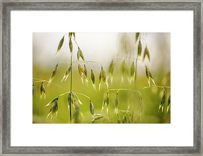 Summer Oat Framed Print