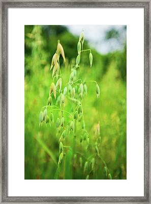 Summer Oats Framed Print